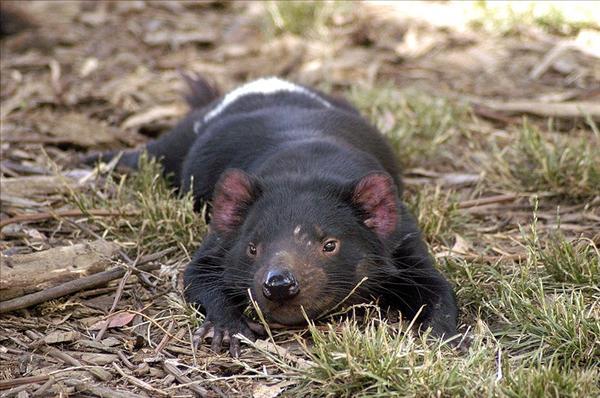 800px-Tasmanian_Devil_resting.jpg