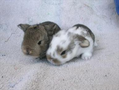 köper du av uppfödare är det större garanti för att kaninen är frisk
