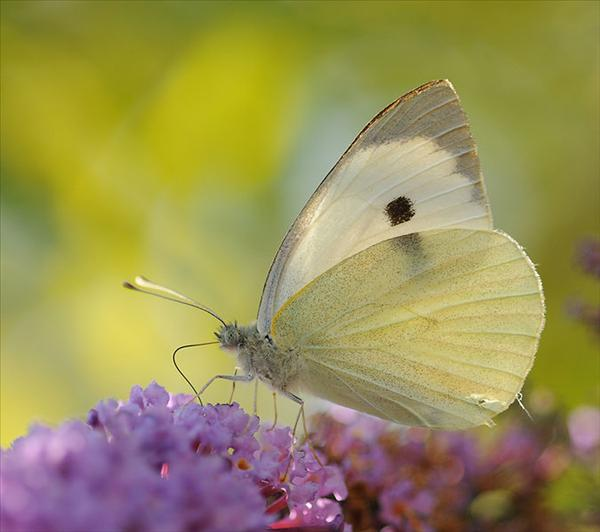 675px-ComputerHotline_-_Pieris_brassicae_(by).jpg