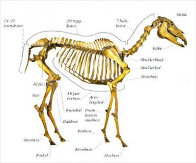 hästens skelett