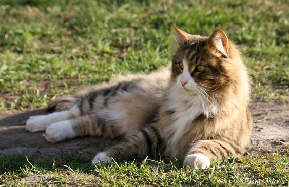 PR S*Svampan's Tryffel är en av katterna som bruka