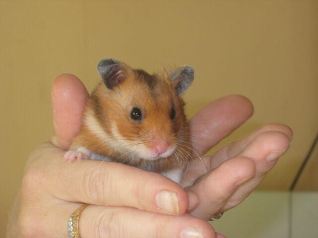 hur mycket kostar hamster