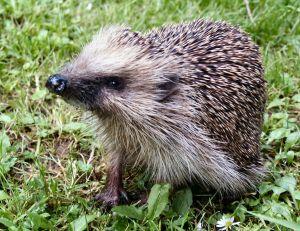 328292_hedgehogs_3.jpg