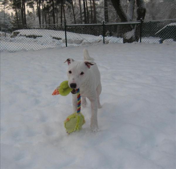 Jack russell terriern Hugo. Foto: Empisen.