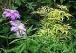 sambucus-racemosa.jpg