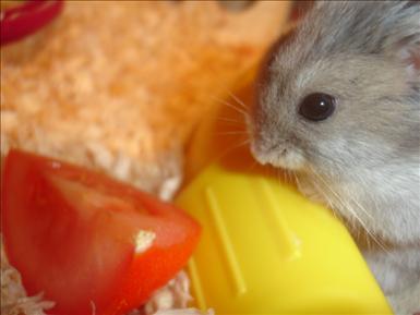 Hamster som äter copyright by Linnea