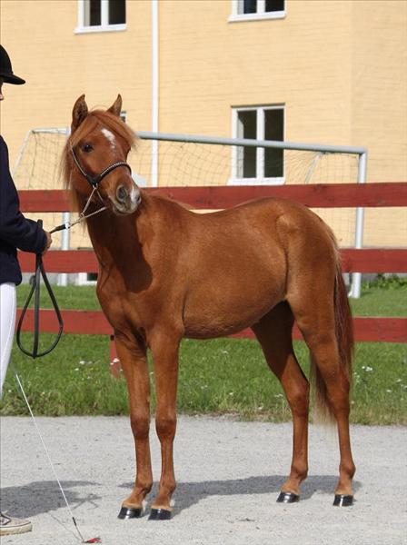 Kaspiska hästen Nordiclights Chitra på utställning i Örebro 2009.