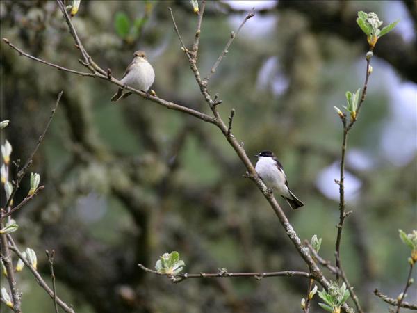 Svartvit flugsnappare, hona till vänster och hane till höger. Foto: www.alotofphotos.com