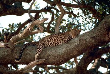 Leopard i trädet