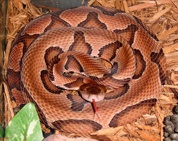 Kopparhuvud (Agkistrodon contortrix) är en giftorm i familjen huggormar som finns i Nordamerika.