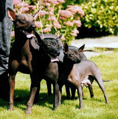 Mexikansk nakenhund
