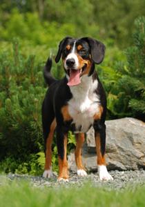 Entlebucher Sennenhund.jpg