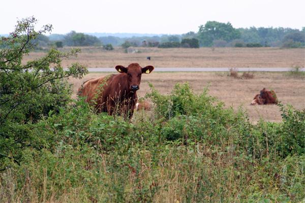 rödkullig ko