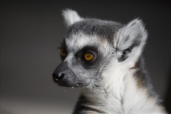 Lemur. Foto: www.fotoakuten.se