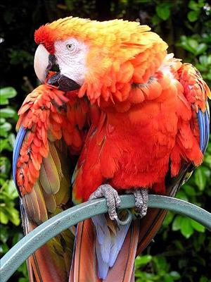 449px-Parrot.red.macaw.1.arp.750pix.jpg