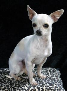Chihuahua, korthårig.jpg
