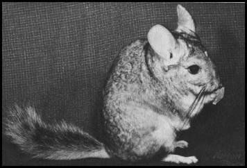 En av de första chinchillorna som fångades