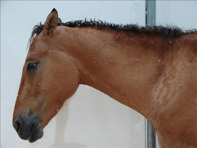 800px-Curly-horse.jpg