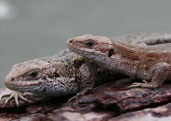 Zootoca vivipara, skogsödlor, närbild Foto: Peter