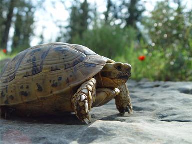 Morisk landsköldpadda