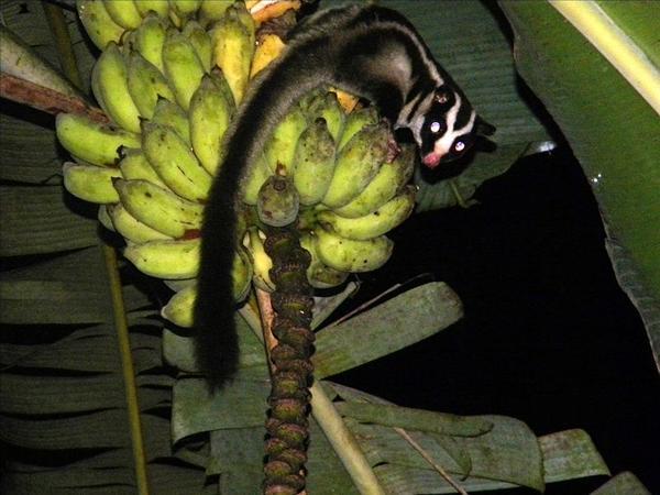800px-Striped_Possum_on_bananas_edited.jpg