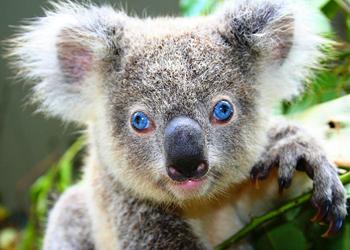 Om Australiens djur