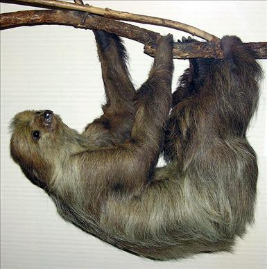 595px-Linnaeuss_two-toed_sloth_arp.jpg
