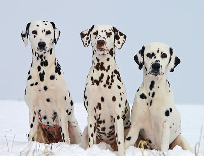 Dalmatiners