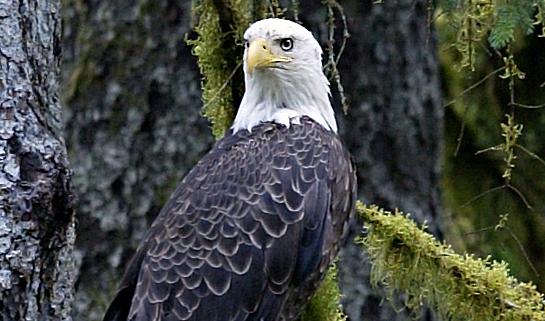 bold-eagle.jpg