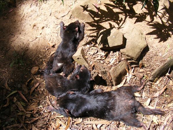 Young_tasmanian_devils.jpg
