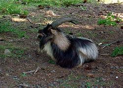 250px-Goat_in_Sweden2.jpg