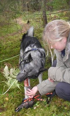 Norsk älghund, grå