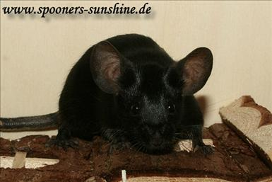 spooners-black2.jpg