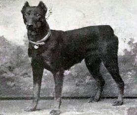 Dobermann år 1915