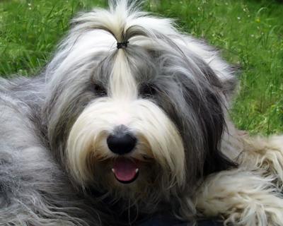 Old English Sheepdog.jpg