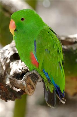 400px-Eclectus_Parrot_-_melbourne_zoo.jpg