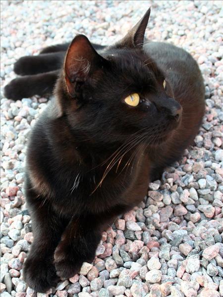 svart_katt.jpg