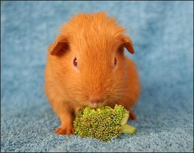 Broccoli innehåller mycket c-vitamin