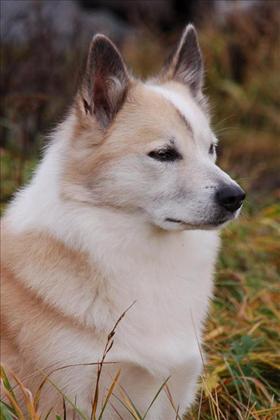 sländsk fårhund