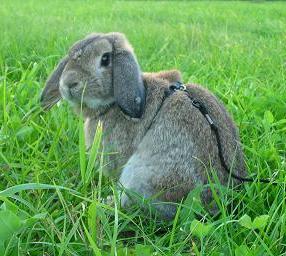 Viltgrå kanin