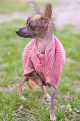 Mexikansk nakenhund2.jpg
