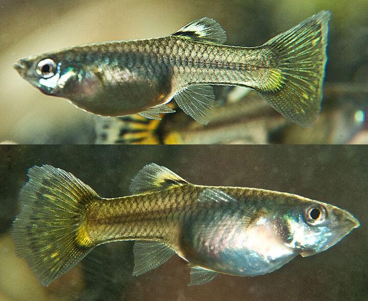 Fisk Gravid