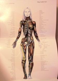 Djupa och ytliga muskelgrupper fram illustrerade