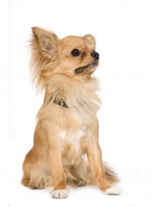 Chihuahua, långhårig.jpg