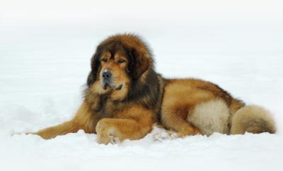 Tibetansk mastiff.jpg