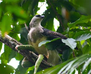Morphnus_guianensis_eating_green_snake_-Bolivia-8.jpg