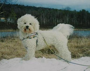 Hunden Gizmo Ägare: Malin (mallanz på iFokus)