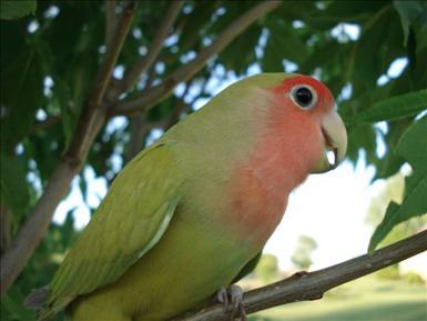 800px-Pingulovebird.jpg