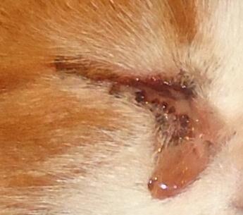 katt röd i ögat