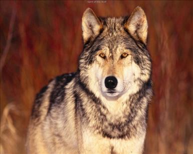 wolf_12_big[1].jpg